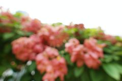 Blurred red flowers backgroundPink Dona Queen Sirikit. Mussaenda philippica flower. nature wallpaper concept. Empty Stock Photo