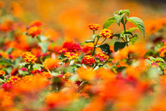 Blurred red flowers Royalty Free Stock Photos