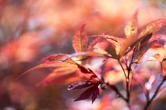 Blurred red leaves for backgrounds. Close up of blurred red leaves for backgrounds stock images