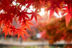Blurred red Maple leaves in corridor garden with sunlight. Background Stock Image