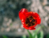 Blurred red tulip. Top view. Abstract Macro photo. Beautiful Spring background. Space for text. Blurred red tulip. Abstract Macro photo. Beautiful Spring Stock Photo