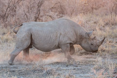 Blurred Rhino running Stock Photo