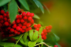 Blurred rowan tree with bright red berries. Blurred background - rowan tree with bright red berries Royalty Free Stock Photo