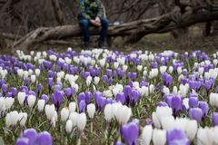 A blurred sad boy sitting on a fallen tree in dark park, many crocus flowers in front of him - he is apathic, dismal, cheerless stock photo
