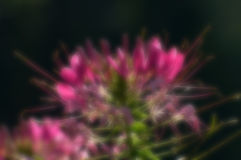 Blurred seasonal flower with dark background Royalty Free Stock Images