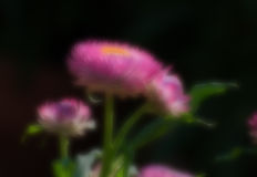 Blurred seasonal flower with dark background Royalty Free Stock Photos