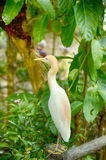 Blurred and selective focus image of cattle egret (Bubulcus ibis) bird standing on concrete fence Royalty Free Stock Photography