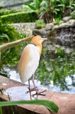 Blurred and selective focus image of lonely cattle egret (Bubulcus ibis) bird Royalty Free Stock Image
