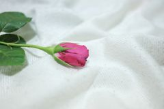 Blurred a single red rose blossom on a white wrinkled bedsheet stock image
