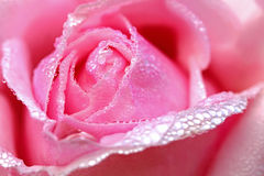 Blurred and soft focus of pink rose petal with drops of water Stock Images
