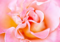 Blurred soft romantic pink rose. In vintage style Royalty Free Stock Image