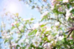 Blurred spring background. Cherry / apple tree in bloom against a blue spring sky. Sunrise in the garden. Blurred background. cherry blossom spring background stock photo