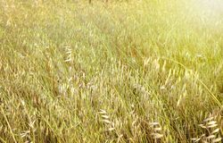 Spring wild oat  field   during spring royalty free stock image