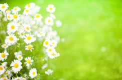 Blurred Summer background With Daisies flowers. Blurred Green Summer background With Daisies flowers. Beautiful nature scenes with medical chamomilles royalty free stock photos