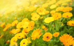 Blurred summer background with Marigold flowers royalty free stock images