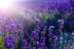 Blurred summer background of wild grass and lavender flowers Royalty Free Stock Photography