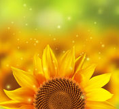 A blurred sunflower field with one flower. In the front, vector illustration Royalty Free Stock Photo