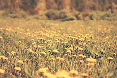 Blurred sunny photo meadow of many yellow dandelions flowers Royalty Free Stock Photography