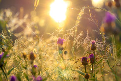 Blurred  sunrise on a summer meadow Stock Photo