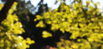 Blurred trees, background, autumn. A detailed view of the branches and leaves of some trees in autumn, in a bright sunny day, blurred, landscape cut Royalty Free Stock Photography