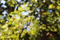 Blurred trees, background, autumn. A detailed view of the branches and leaves of some trees in autumn, in a bright sunny day, blurred, landscape cut Stock Photography