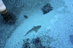 Blurred underwater image of Sharks chasing school of fish Stock Images