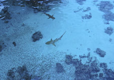 Blurred underwater image of Sharks chasing school of fish Royalty Free Stock Photography