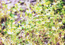 Blurred view of camomiles Royalty Free Stock Images