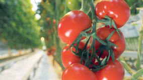 Blurred view of a greenhouse passway transits into a close up of a tomato cluster. 4K stock footage