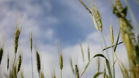 Blurred view of the horizon and the sky with clouds through the green ears of wheat in the field stock video