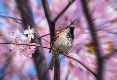 Blurred view of spring sparrow on blossoming sakura tree in Moscow Stock Images