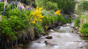 Blurred white water of a mountain creek, lupine flowers and broom on the shores stock photos