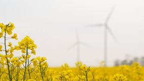 Blurred windmills rotating during windy spring cloudy day. On yellow field with oil rape seed closeup stock video footage