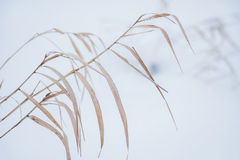 Blurred winter background, dry grass snowflakes Royalty Free Stock Images