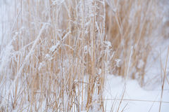 Blurred winter background, dry grass snowflakes Royalty Free Stock Photography