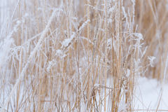 Blurred winter background, dry grass snowflakes Royalty Free Stock Photo