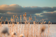 Blurred winter background of the lake and snowy reed Royalty Free Stock Images