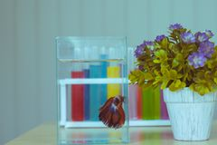 Blurred work wooden table decorated with the siamese fighting fish in the glass tank, flower pot and colourful liquid in the test royalty free stock image