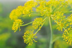 Blurred yellow flowers of dill in vegetable garden. Blossoming branch of Fennel Foeniculum vulgare . Conception of herbs and. Plants for cooking and medicine stock image