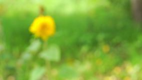 Blurred yellow flower swings in wind green background. Blurred yellow round wild flower swings in light wind on green grass and trees blurry background stock footage