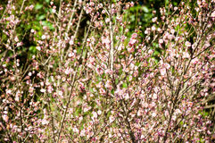 The blurred of young small pink Flowers on many branches. Beauti Royalty Free Stock Photos