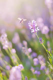 Blurring background lavender sunset. Crimean beauty at sunset.  Royalty Free Stock Images