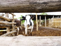 Blurring cow behind the fence. Blurring black and white cow behind the fence Royalty Free Stock Image