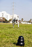 Pitbull Running to Dog Toy on Park Grass. A blurry black dog chew toy at the front of the frame, with a Pitbull joyfully running towards it from the distance Royalty Free Stock Images