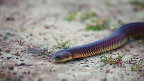 Blurry close up of snake slithering to camera. Close up perspective going in and out of focus on snake slithering towards camera