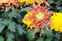 Blurry defocused image of blooming red Chrysanthemum flower Royalty Free Stock Images