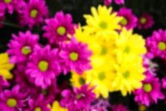 Blurry defocused image of purple and yellow Chrysanthemum flower Stock Photos