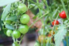 Blurry defocused tomato in organic farm Stock Photo