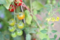 Blurry defocused tomato in organic farm Stock Photography