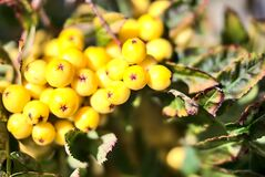 Blurry fall harvesting background in unusual colors with copy space. Beautiful autumnal yellow berries of Sorbus vilmorinii Rowan